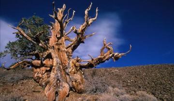 Cei mai mari copaci din lume