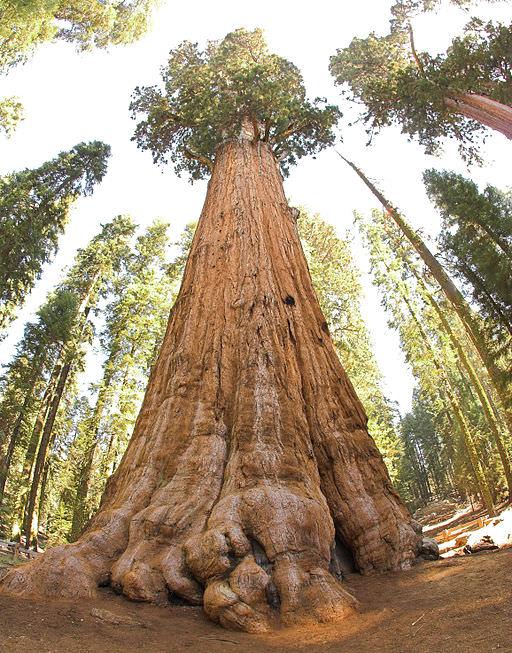 sequoia - cei mai mari copaci