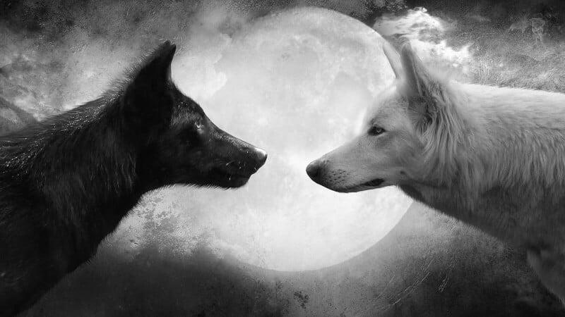 lupul alb si lupul negru