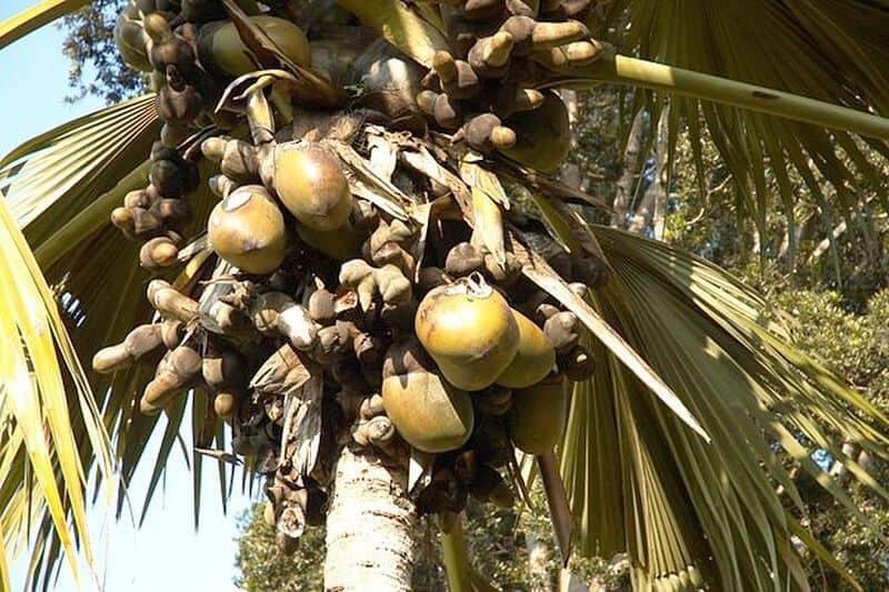 ulei palmier