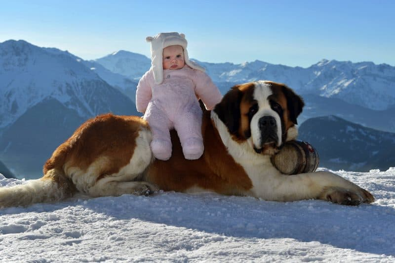 Baby on Saint Bernard