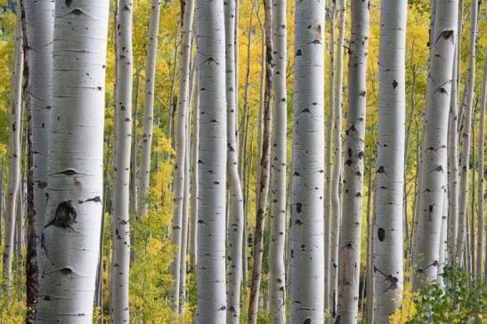 mesteacăn pădure lemn masiv