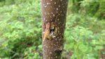 Paulownia găurit de ciocănitoarea din Baia Sprie