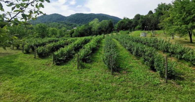 plantatia de coacaze negre vara lui 2020