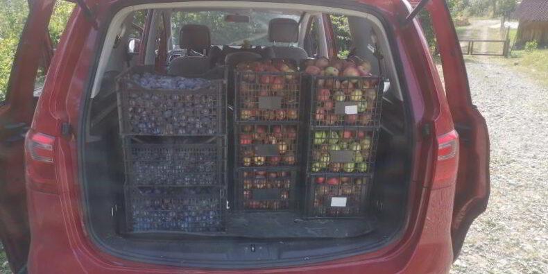 recolta de prune si mere vara lui 2020